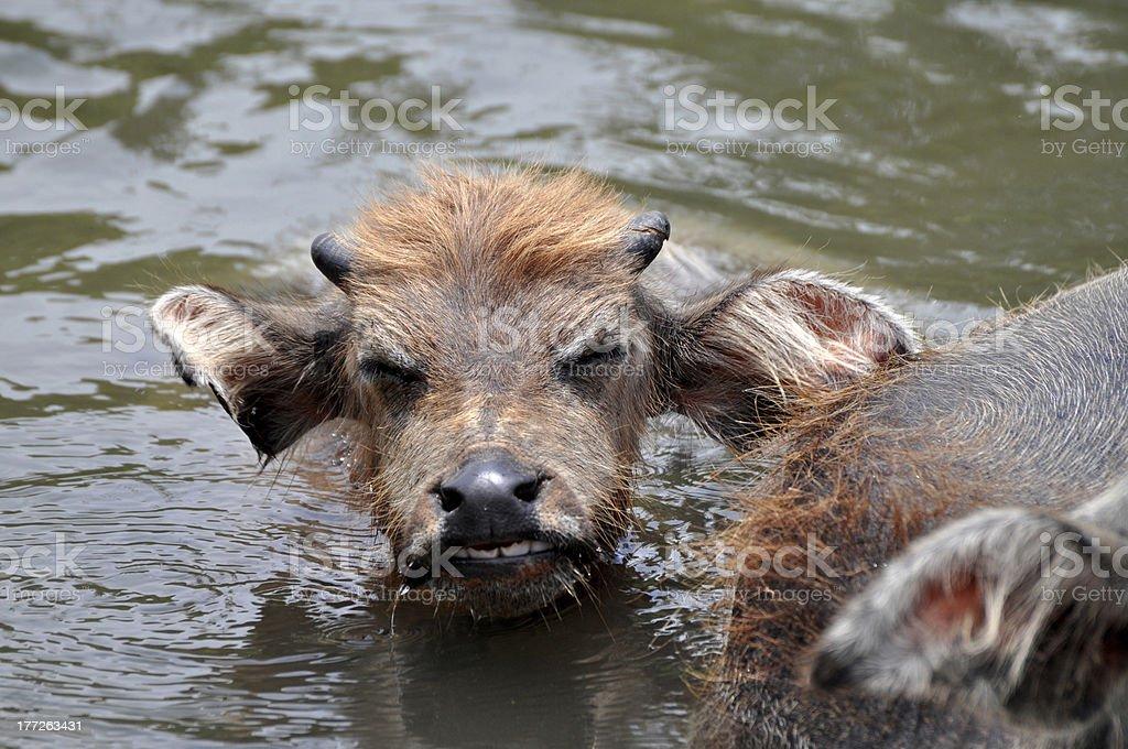 Buffalo baby taking a bath - Laos stock photo