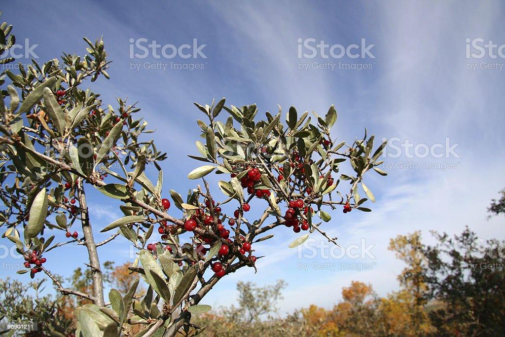 Buffalo Berry against the sky royalty-free stock photo