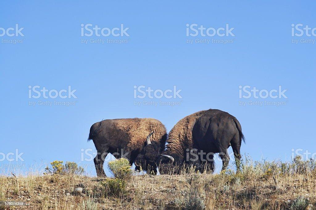 Buffalo Bison Bulls Rutting Fighting royalty-free stock photo