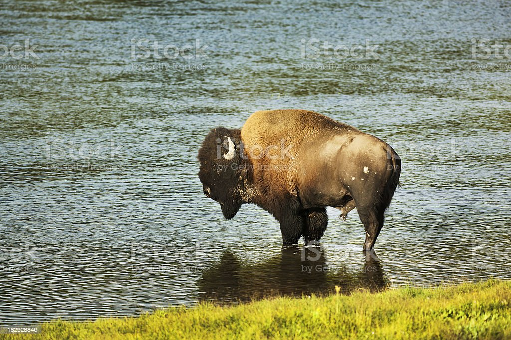 Buffalo Bison in Hayden Valley by the Yellowstone River royalty-free stock photo