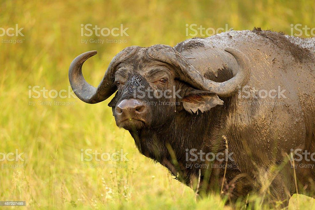 Buffalo bull - foto stock