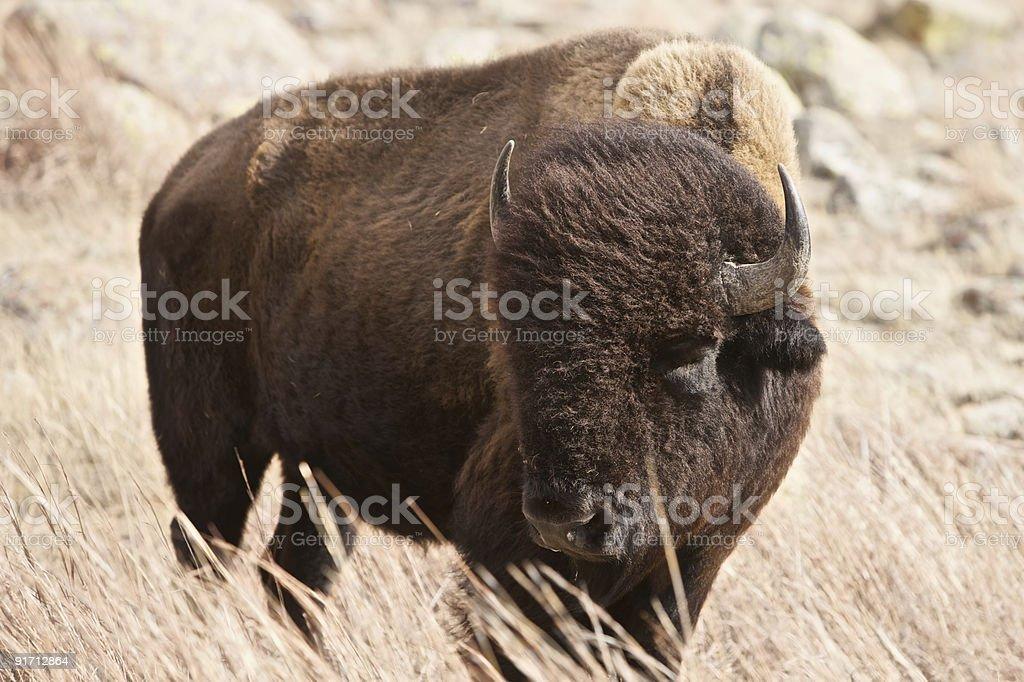 Buffalo Bull royalty-free stock photo