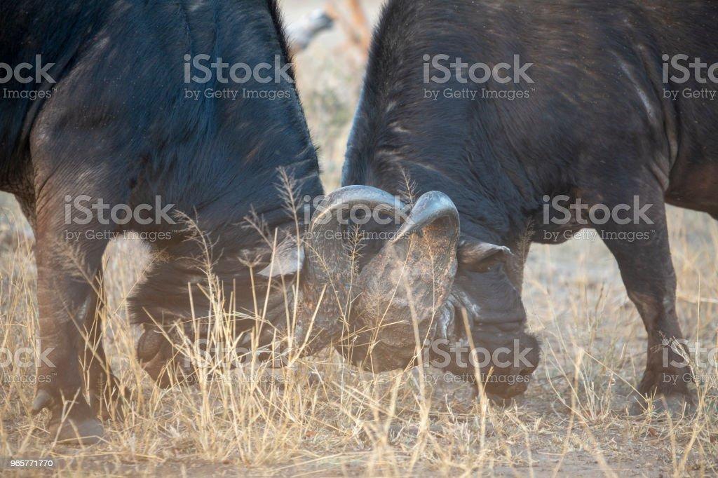 Buffalo bulls fighting - Royalty-free Animal Wildlife Stock Photo