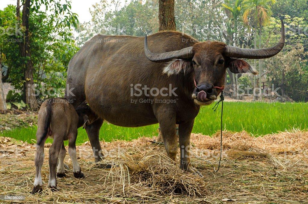 Cría de Búfalo con la madre en Tailandia. foto de stock libre de derechos