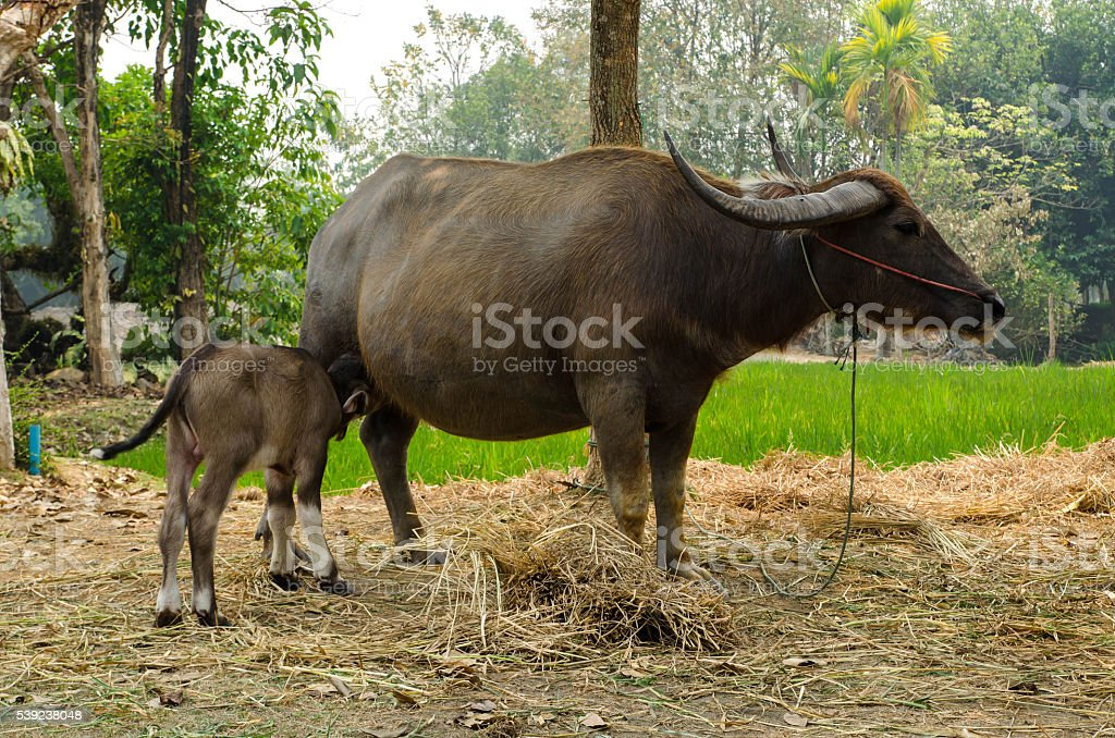 Buffalo calf with mother in Thailand. royalty-free stock photo