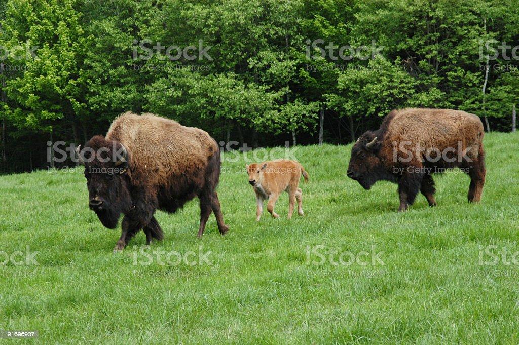 Buffalo convoy royalty-free stock photo
