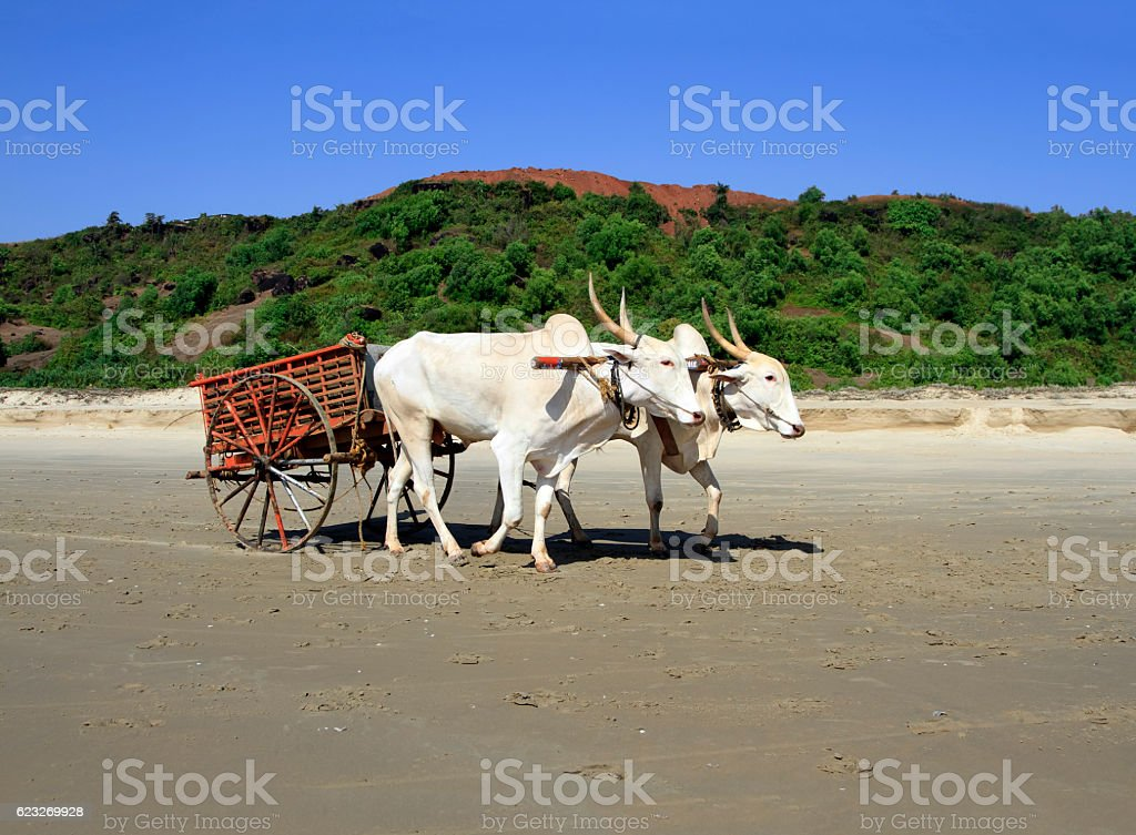 buffalo drawn to a cart going on the sandy shore stock photo