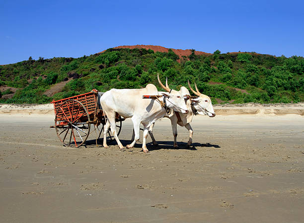 buffalo drawn to a cart going on the sandy shore - Photo
