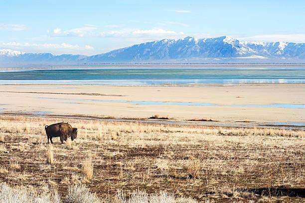 buffalo eating on antelope island stock photo