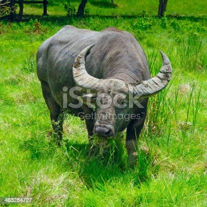 Buffalo eats grass