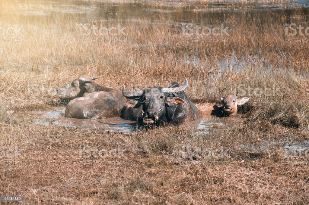 Buffalo family resting in swamp mud near the lake. stock photo