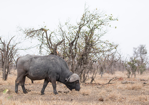 Buffalo from the side foraging in front of a tree in Kruger National Park