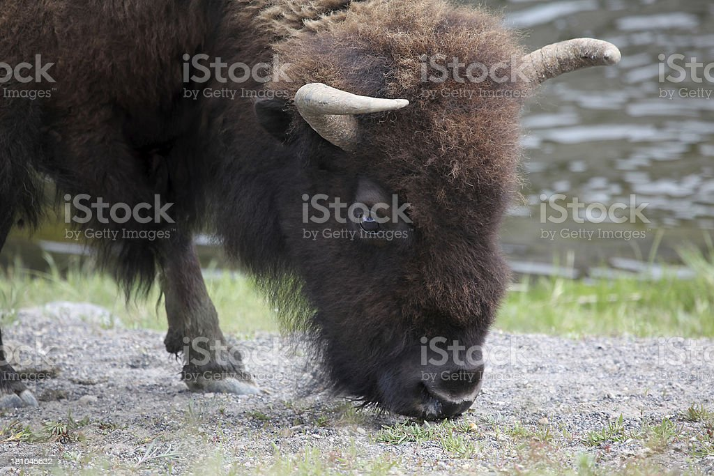 Buffalo grazing along river.  Close-up. royalty-free stock photo