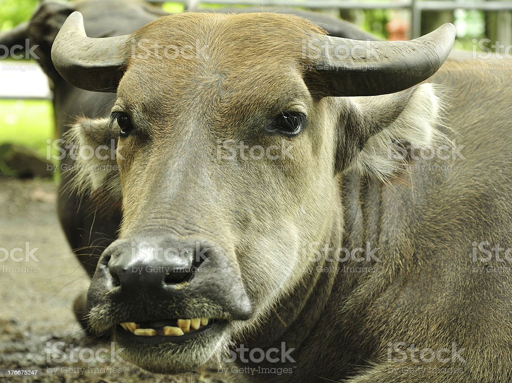 Buffalo Grin royalty-free stock photo