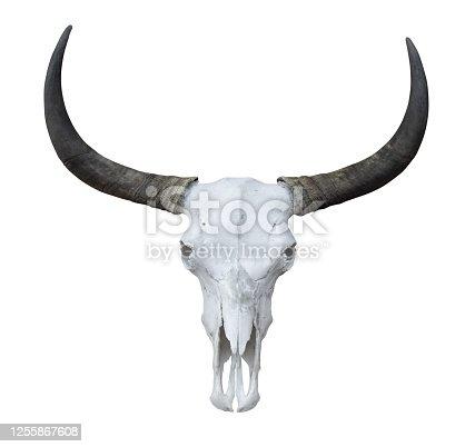 1151385192 istock photo Buffalo head skeleton with long horns isolated on white background 1255867608