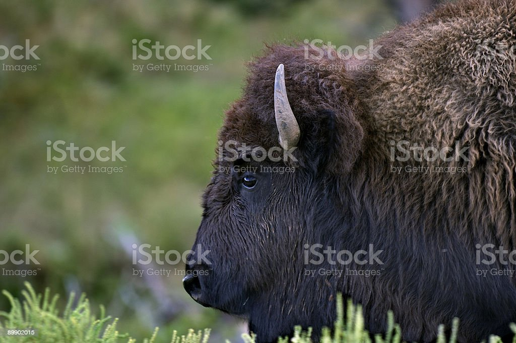 buffalo head - the real thing stock photo