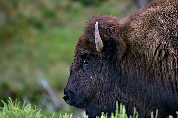 buffalo head - the real thing stock photo