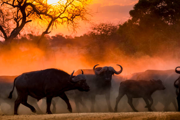 Buffalo herd at sunset in Kruger National Park South Africa Buffalo herd startled by lions at sunset cross a dusty road at speed. Central buffalo stares at camera. kruger national park stock pictures, royalty-free photos & images