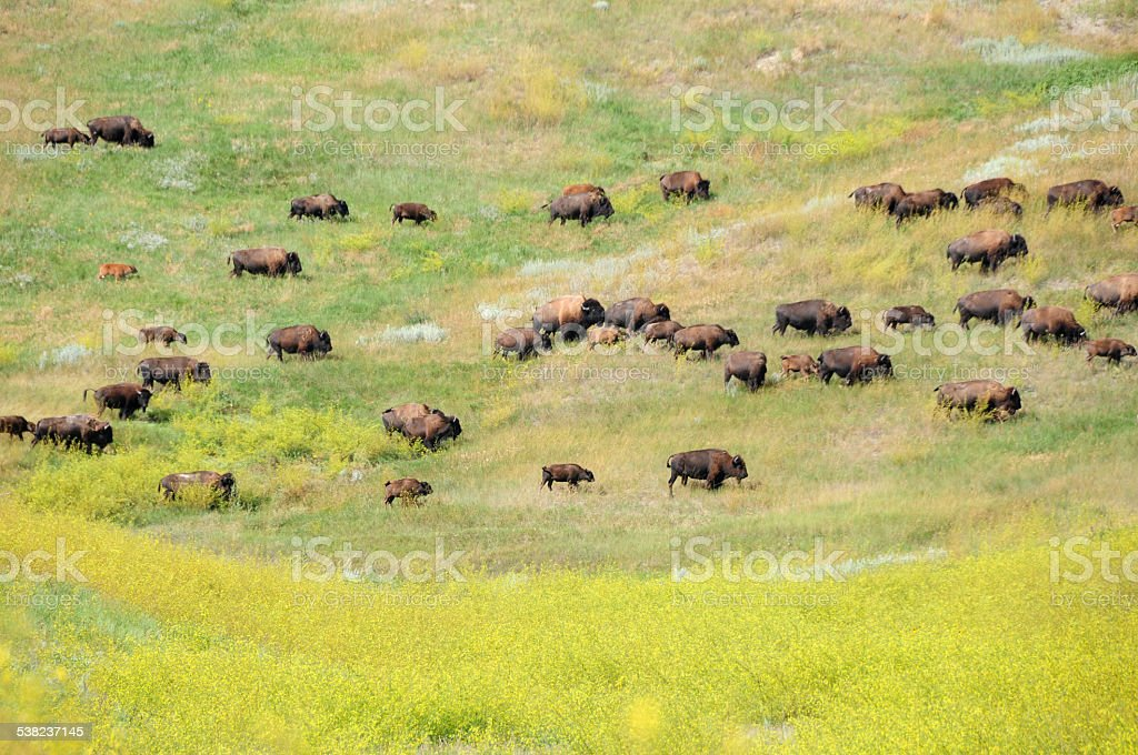 Buffalo herd crossing road in Badlands National Park stock photo