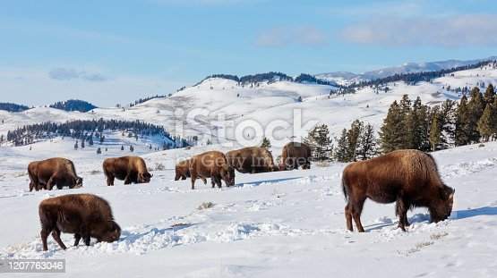 American Bison (Bos bison, Bison bison) Herd  Grazing in the Rolling Winter Hills of Yellowstone National Park, Wyoming