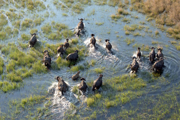 Buffalo herd in the Okavango Delta Buffalo herd in the Okavango Delta kruger national park stock pictures, royalty-free photos & images