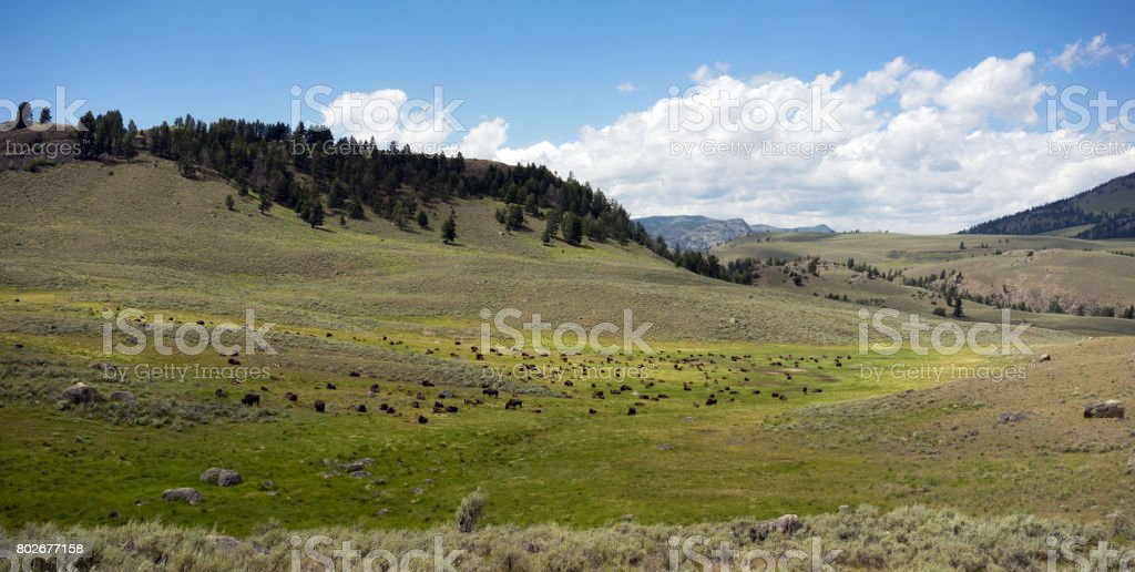 Buffalo Herd Lamar Valley Yellowstone National Park Bison stock photo