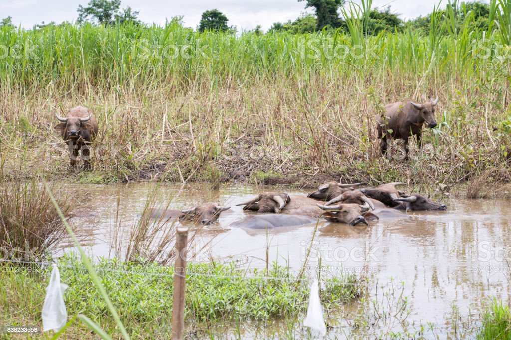 Buffalo herd lying in the swamp in the field. stock photo