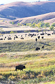 Herd of buffalo (bison) on the rolling hills.