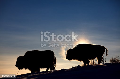 A herd of buffalo backlit on rugged slope in winter. Animals are backlit and steam is rising from their warm bodies on a bitterly cold morning. Their breath vapor is visible against the dramatic lighting. Image taken near Calgary, Alberta, Canada. These are domestic buffalo raised for their beef. Bison once roamed in massive numbers on the great plains, however, their numbers were decimated by hunting and disease. Today most of the buffalo on the prairie are raised domestically for their beef. There are three animals in this image, taken with Canon 5D Mark II body and L series zoom lens.