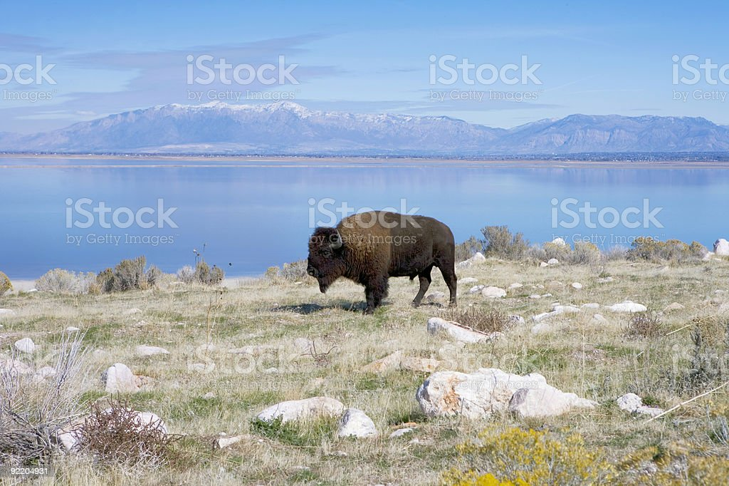 Buffalo in Antelope Island State Park Great Salt Lake stock photo