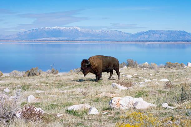 Buffalo in Antelope Island State Park Great Salt Lake stock photo