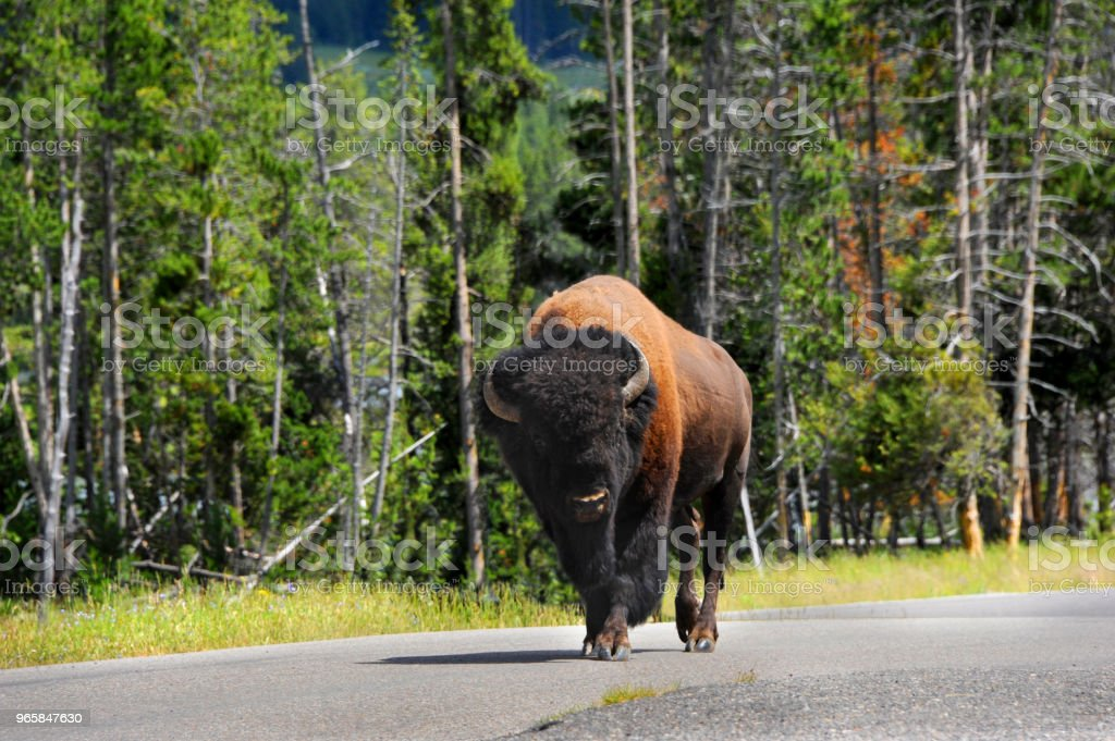 Buffalo in Autobahn – Foto