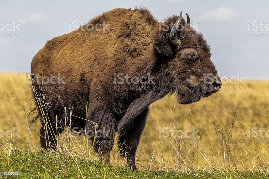 Buffalo In Iowa In America stock photo