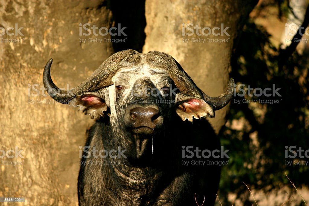 Buffalo in Kruger National Park stock photo
