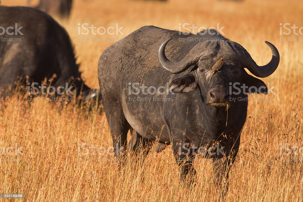 Buffalo in Masai Mara stock photo