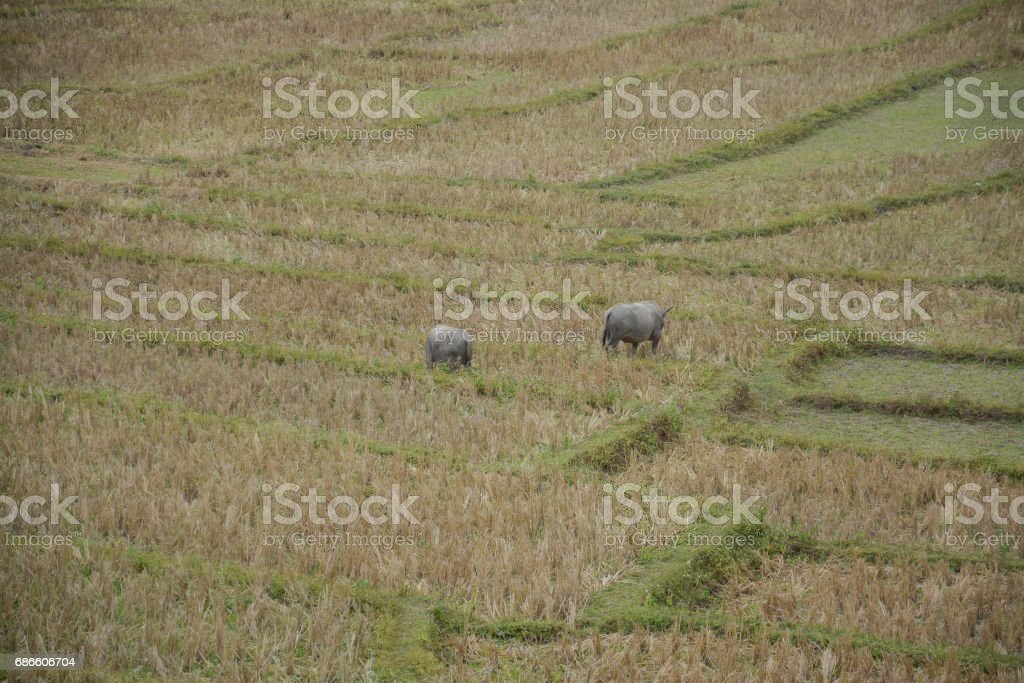 Buffalo in rice terraces field in Mae Klang Luang , Mae Chaem, Chiang Mai, Thailand royalty-free stock photo