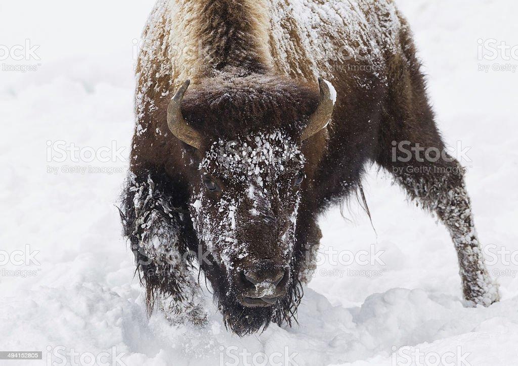 Buffalo dans une tempête de neige - Photo