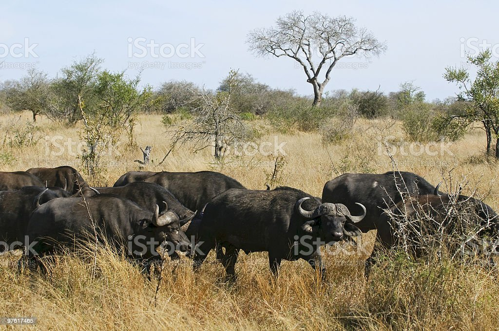 Buffalo in South Africa royalty-free stock photo
