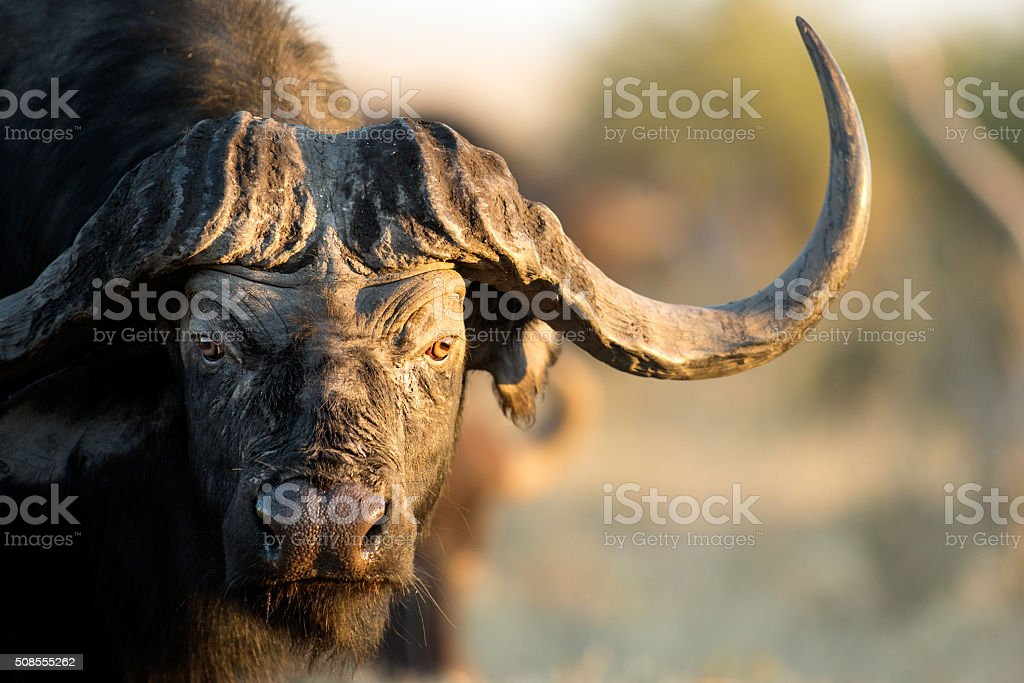 Buffalo in Bushveld - foto stock