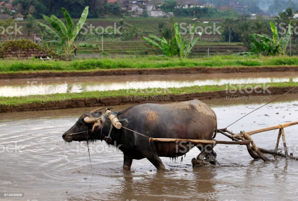 Buffalo in the field Indonesia, Bali royalty-free stock photo