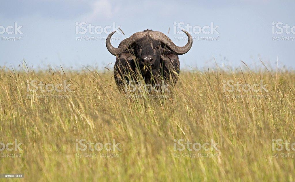 Buffalo in the grass stock photo