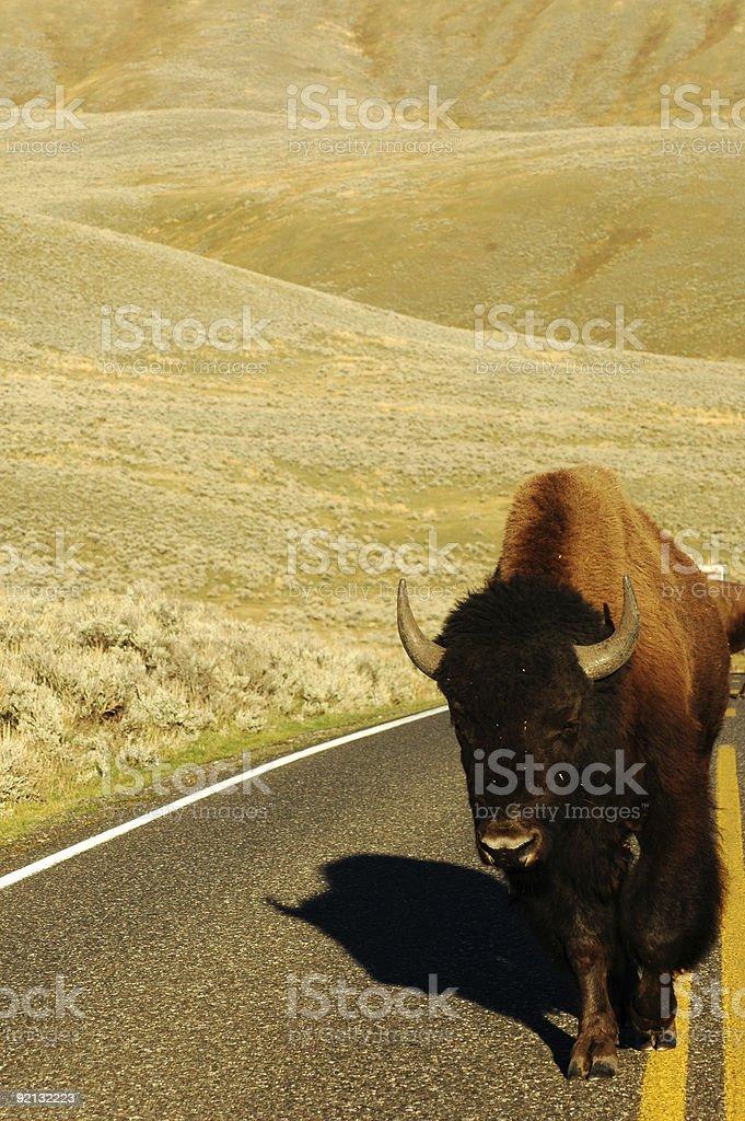 Buffalo in the Lamar Valley Yellowstone stock photo