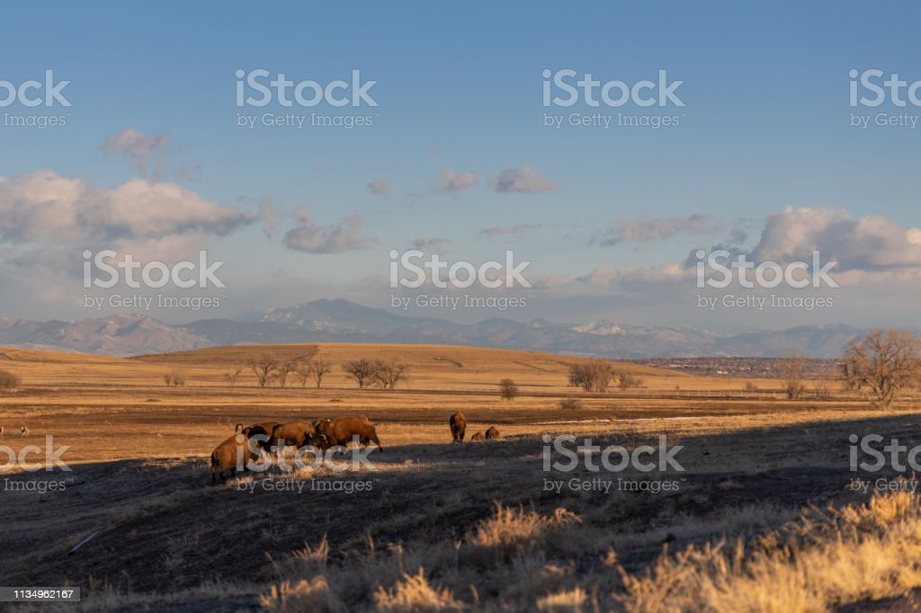 Buffalo in the Rocky Mountain Arsenal Wildlife Refuge stock photo