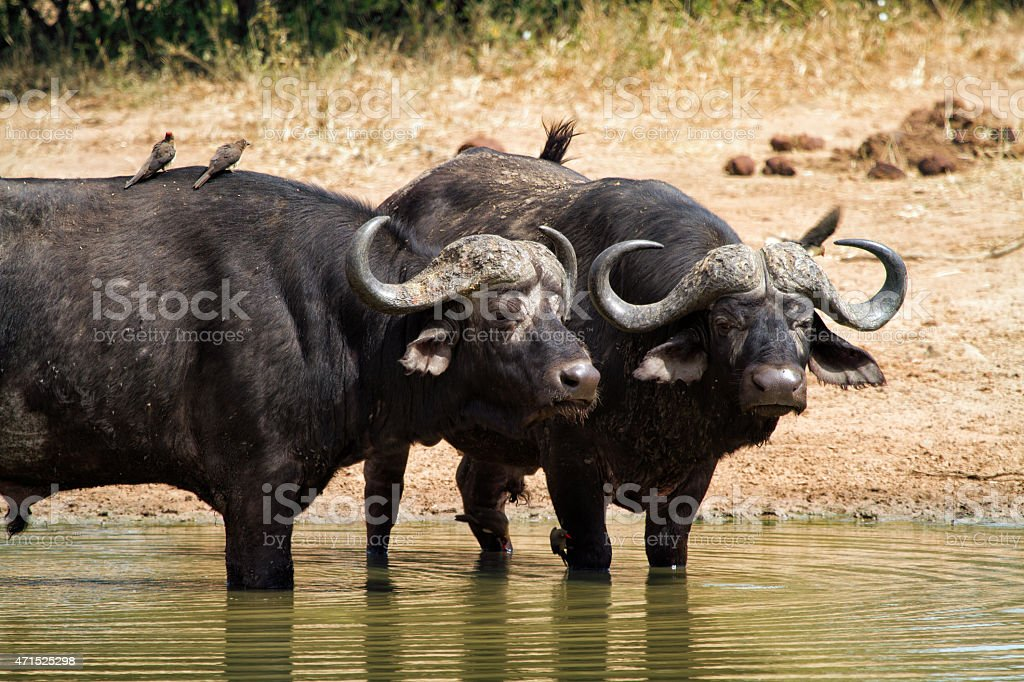 Buffalo in watering hole stock photo