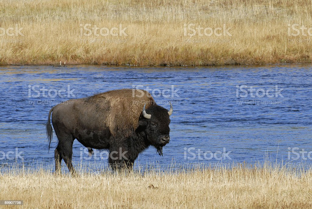 Buffalo in Yellowstone royalty free stockfoto