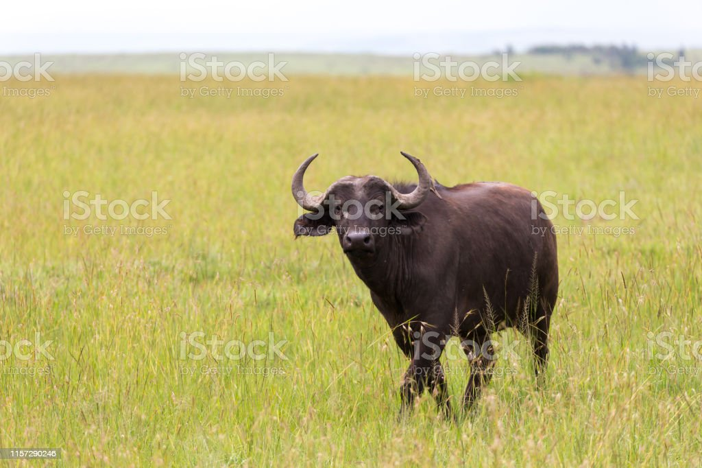 The buffalo is standing in the middle of the meadow in the grass...