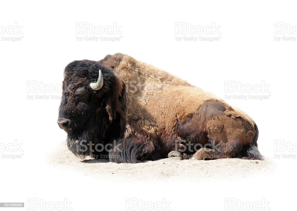 Buffalo isolated on white stock photo