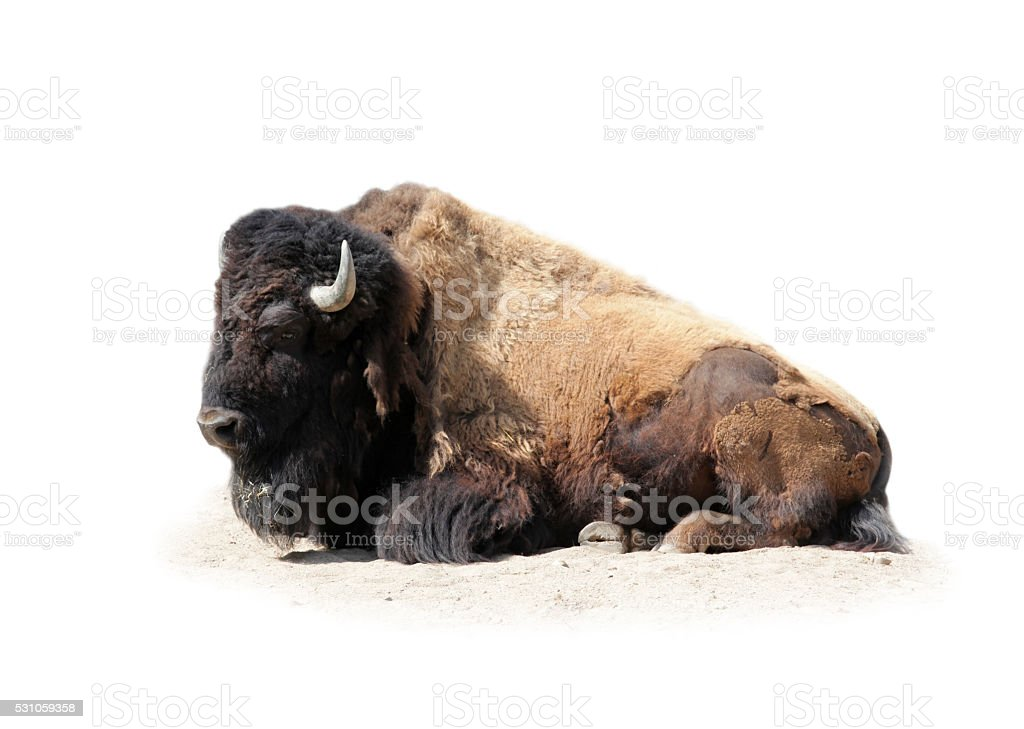 Buffalo seul sur blanc - Photo