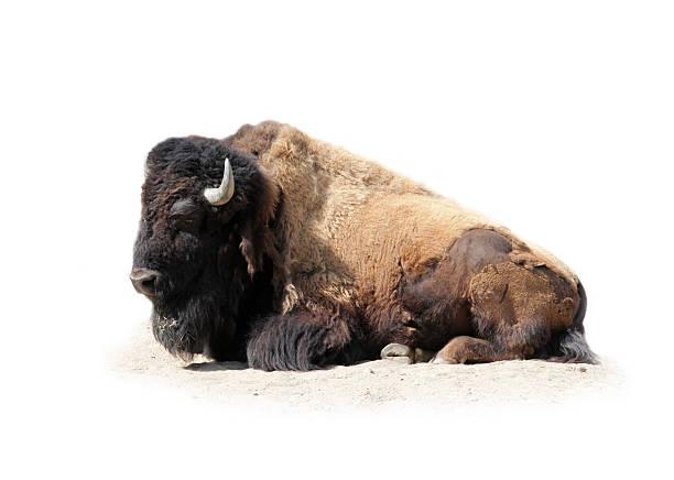 Buffalo isolated on white bildbanksfoto