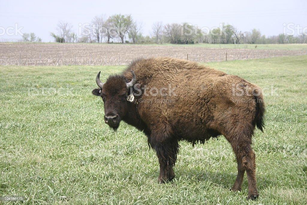 Buffalo - King of the Plains royalty-free stock photo